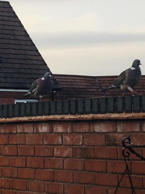 Noah - Wood Pigeons