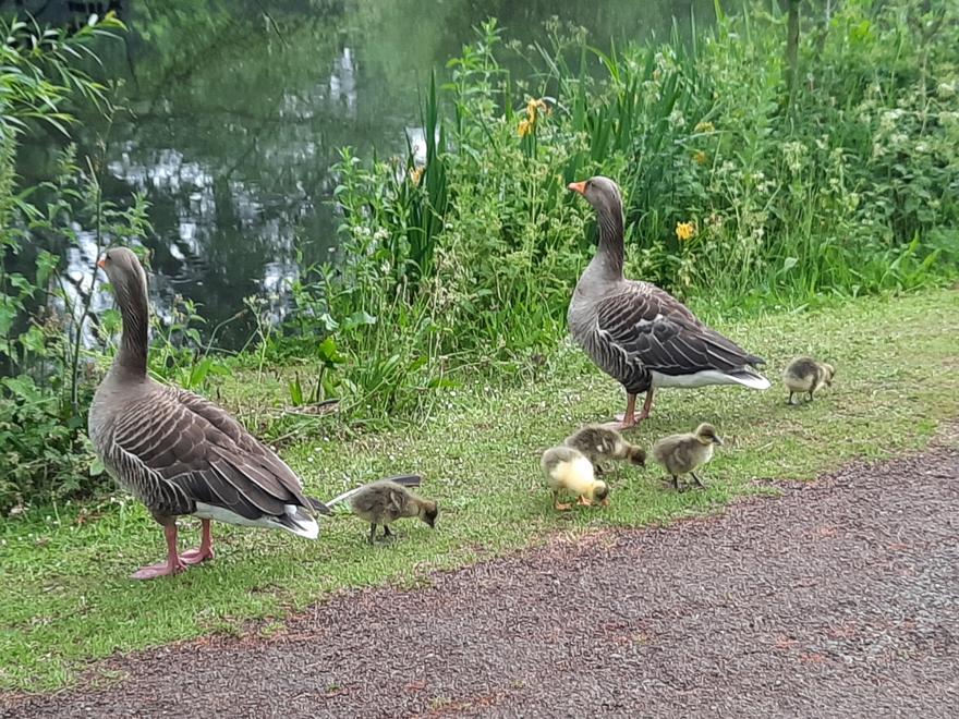 Charlie - Geese & Goslings