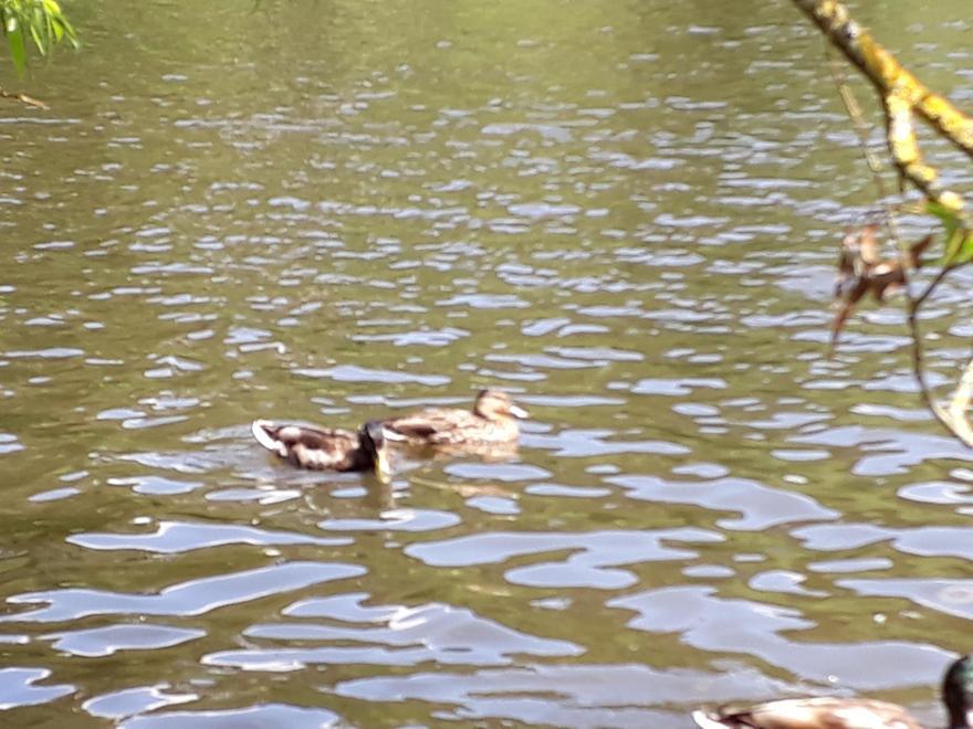 Harrison - Ducks