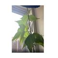 Aela's fantastic bean plant