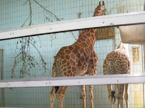 We enjoyed looking at the very tall giraffes,