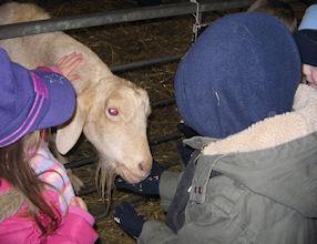It was fun feeding the goats.