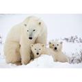 Northern Polar habitats - Polar bears