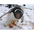 Southern Polar Habitats - Gentoo penguins