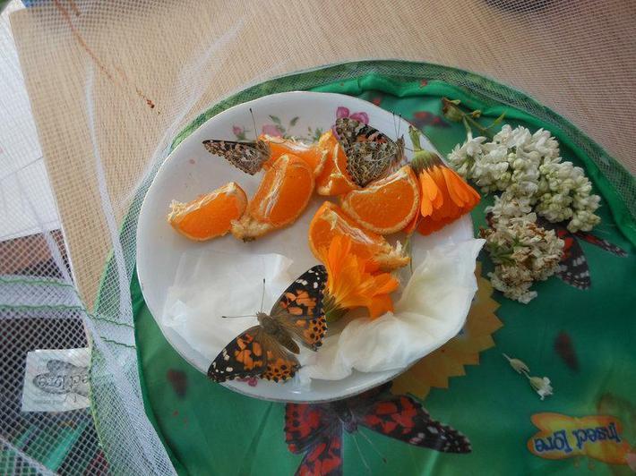 Painted Lady butterflies feeding.