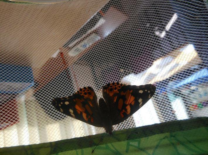 Newly emerged butterfly.