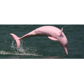 A pink dolphin - found in the Amazon.