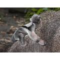A  baby tamandua.