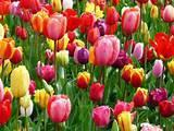 Tulips from Amsterdam - in Stanley.