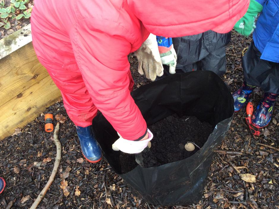 Carefully planting our chitted potatoes.
