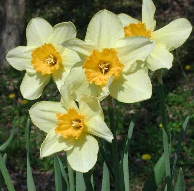 Let's hope our daffodils are as glorious as these.