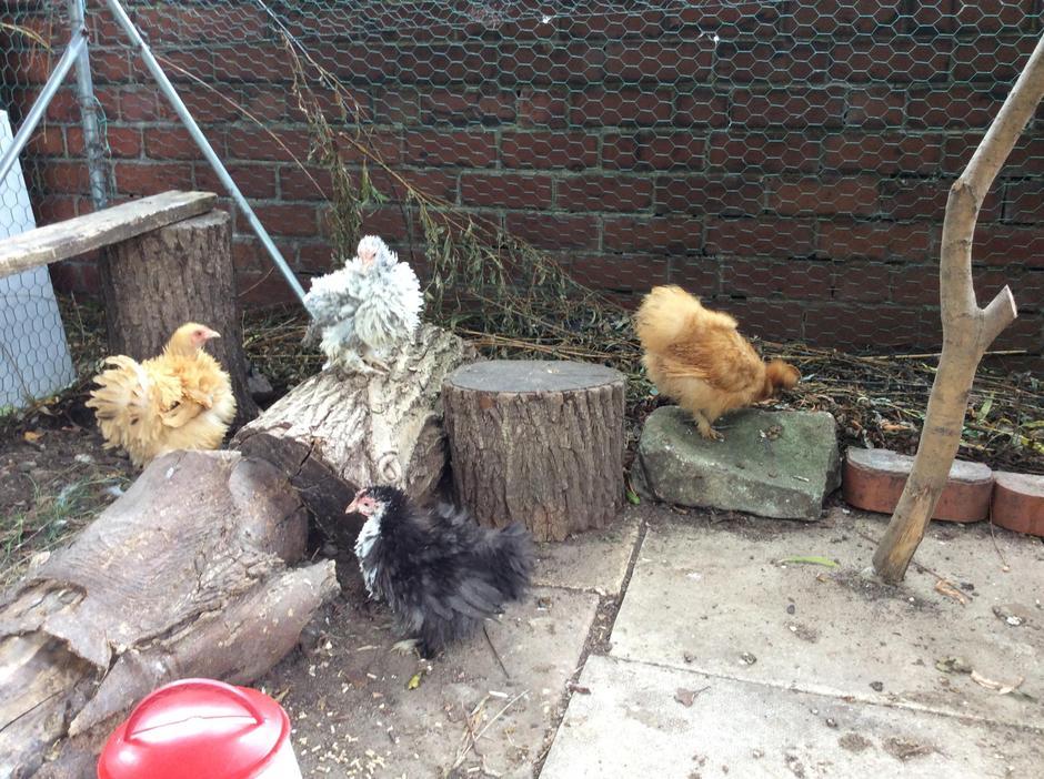 New chickens.