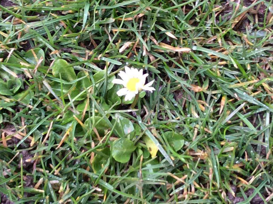 Daisy's are beginning to show their heads.