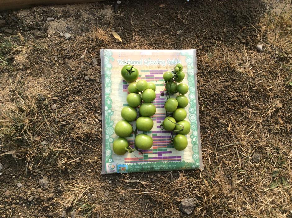 So many green tomatoes