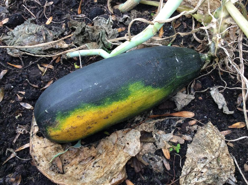 A huge marrow in the allotment.