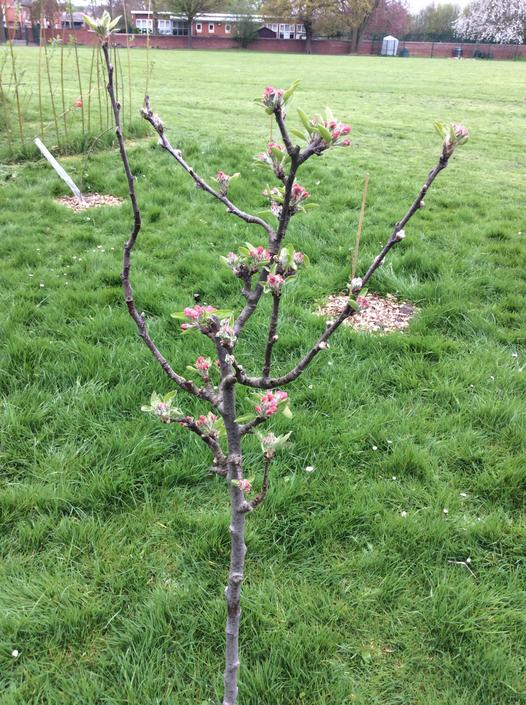 Blossom on the transplanted apple tree.