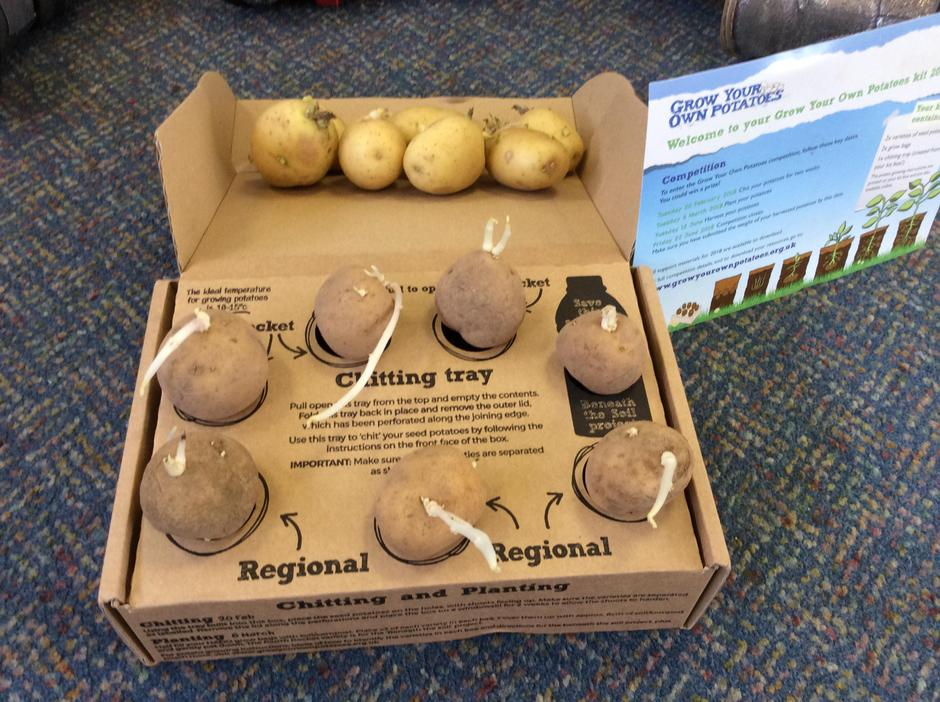 Potato tubers just want to grow.
