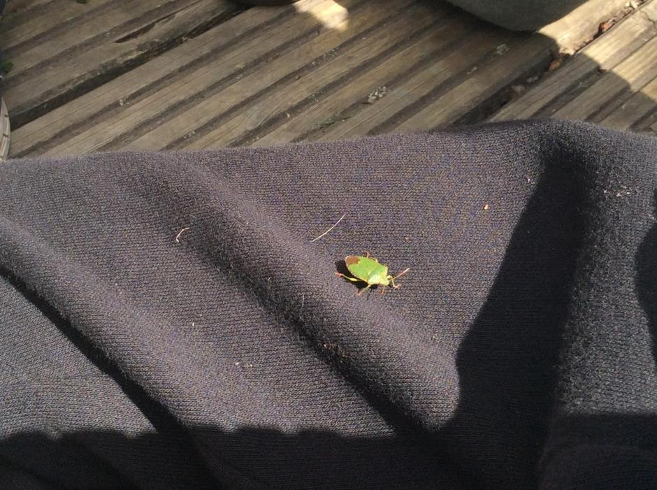 A little shield bug decided to join us
