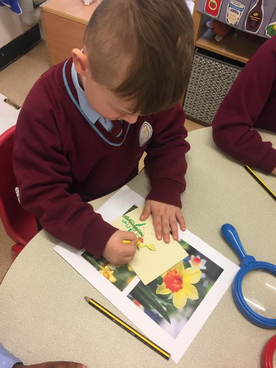 Carefully drawing the parts of a daffodil...