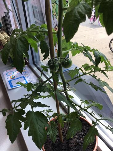 We have three tomatoes growing! They are still green so not ready to be picked.