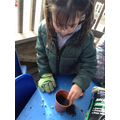 Planting bean seeds