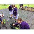 Planting sweet peas.