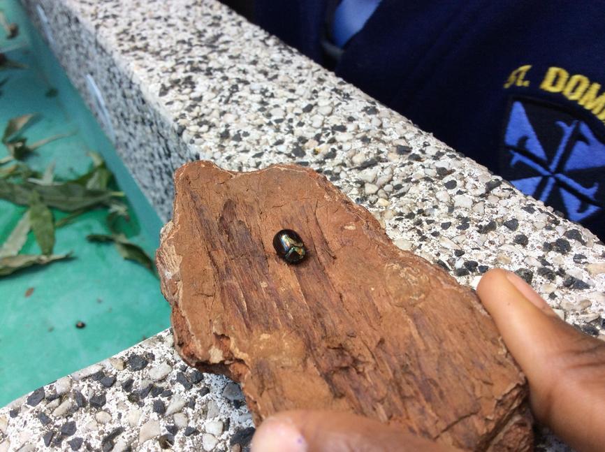 Rosemary beetle