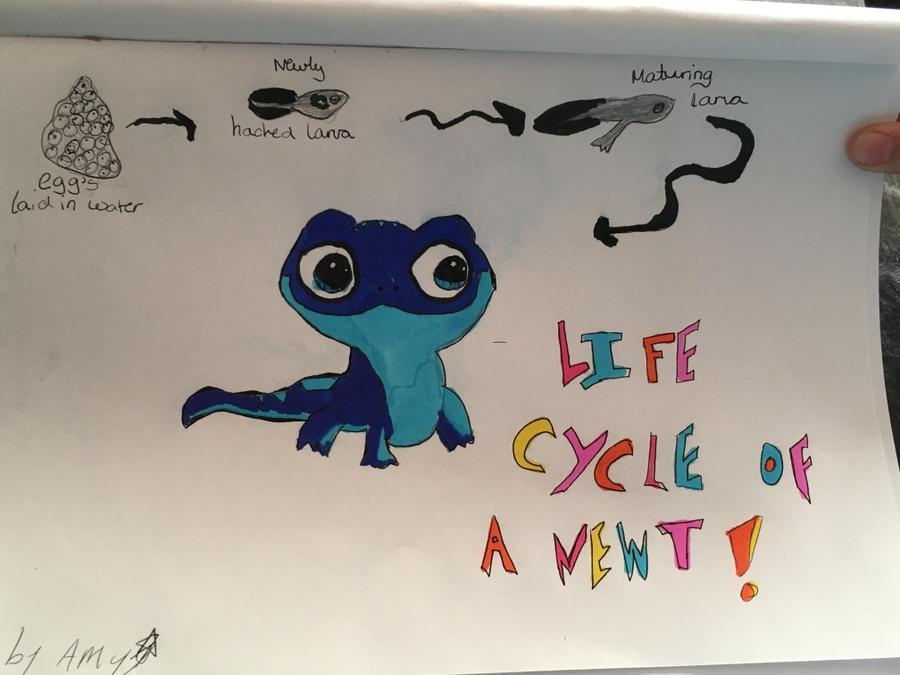 Amy's newt lifecycle