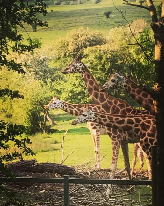 Giraffes from my walk!