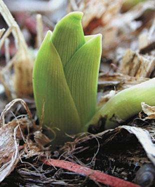 sprouting bulbs