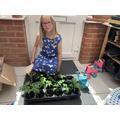 Emilia's Tomato Plants