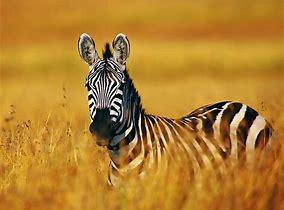 Zebras - Mrs Faulkner