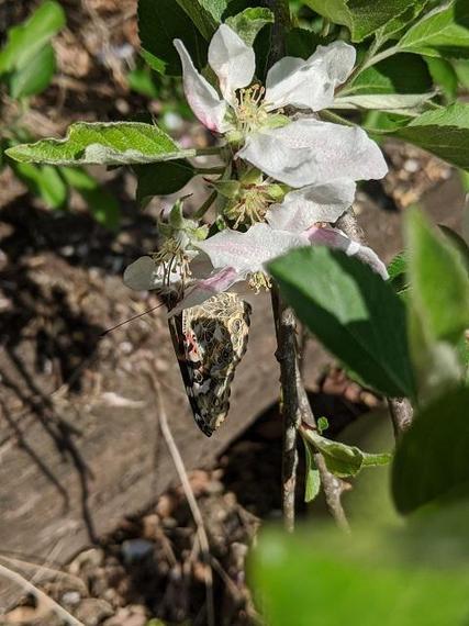FHD (SL) has also been hatching butterflies