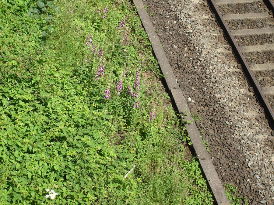 Foxgloves growing by the train track.