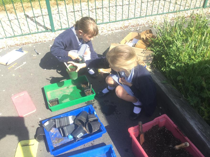 Y2 - Plants - What happens to a seed after it has been planted?