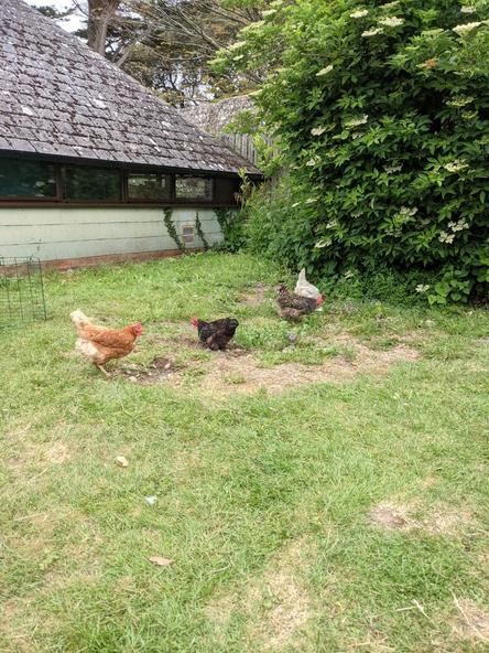 Our hens exploring their environment.