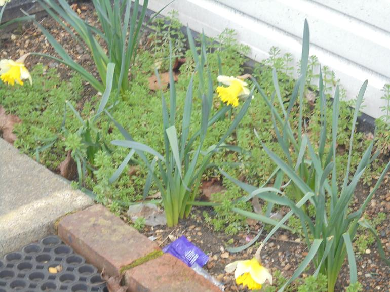 The daffodils are starting to grow!