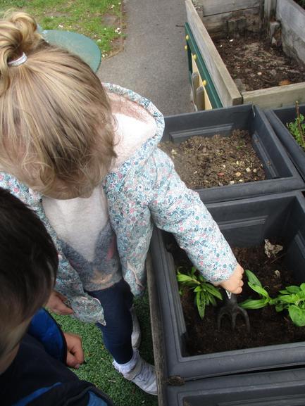We planted radishes