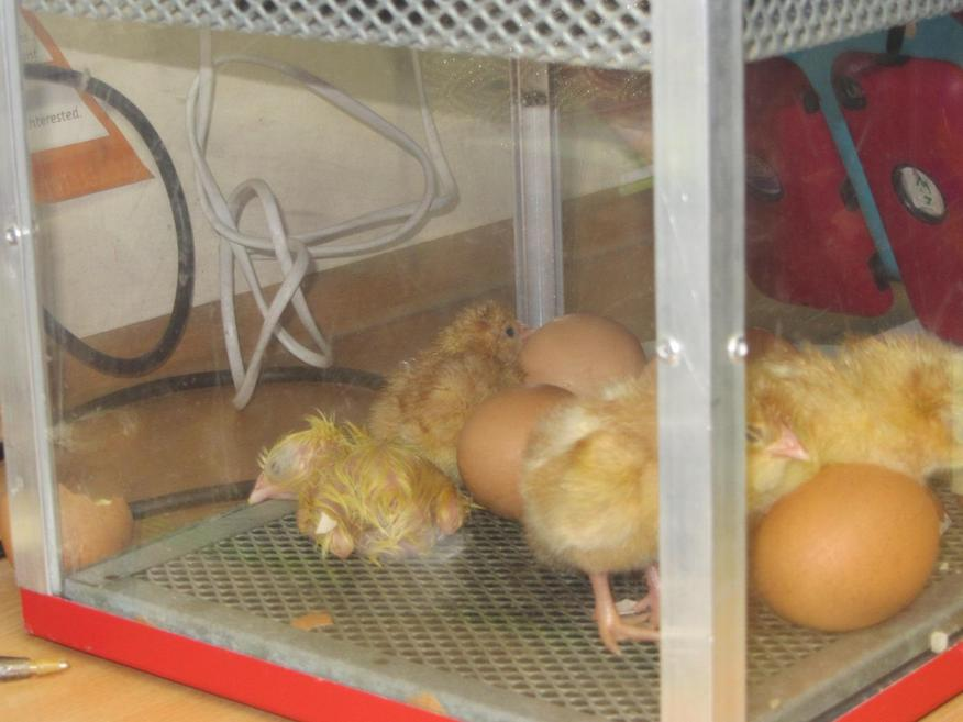 We watching this chick hatch at 2.30 on Wednesday
