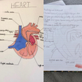 The human circulatory system, what incredible diagrams Max and Bianka!