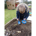 Digging up the last of our vegetables.
