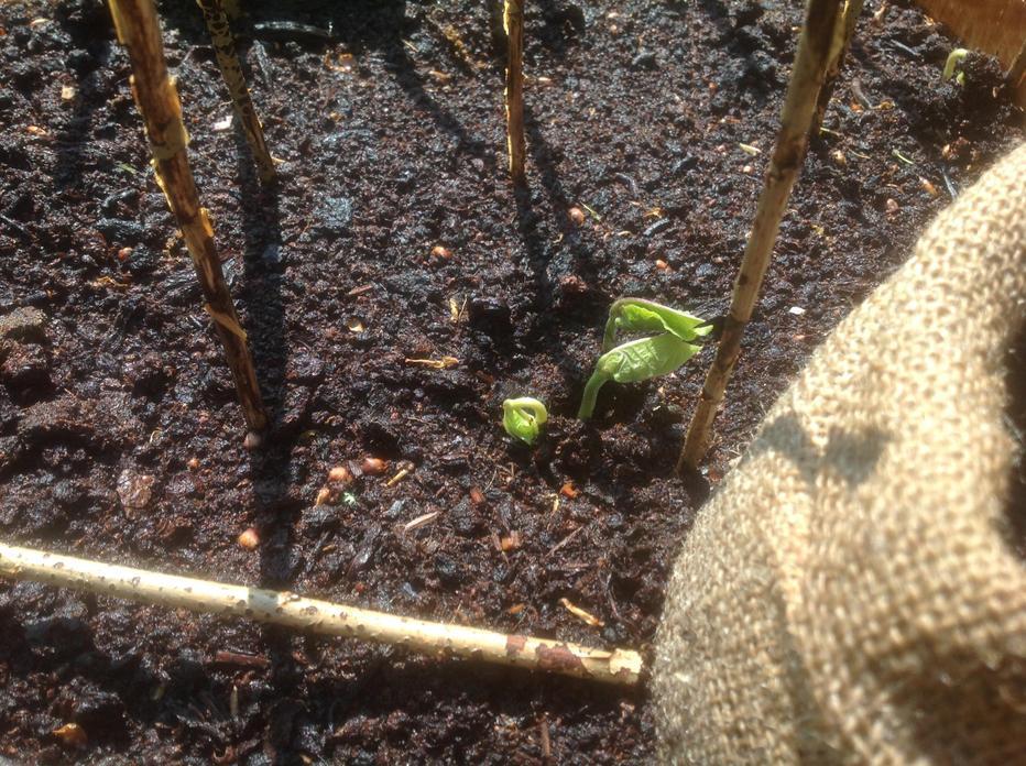 Runner Bean Seedling. Draw it today!