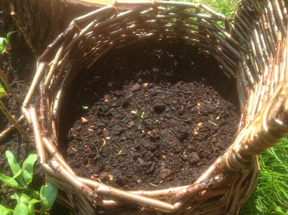 Tiny Tomato Plant Seedlings.