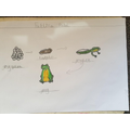 Home learning - frog life-cycle