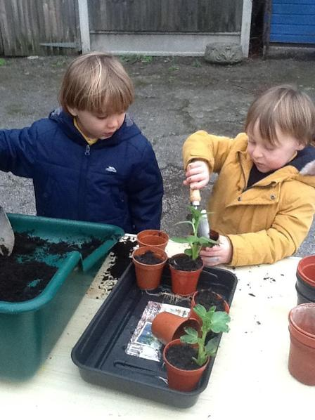 We are re-potting the broad beans