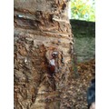 Looking, touching and smelling tree sap.