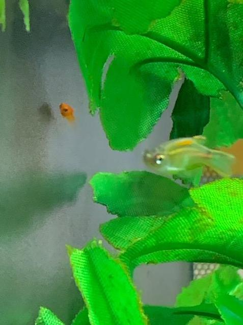 We had a surprise this week! Baby fish!
