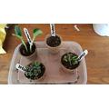 Sams plants