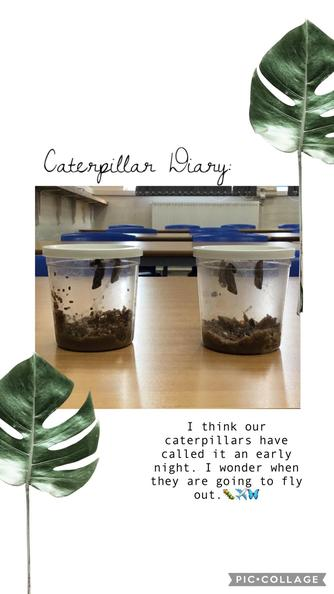Our caterpillars are transforming so quickly. They have now formed a chrysalis (a cocoon)!