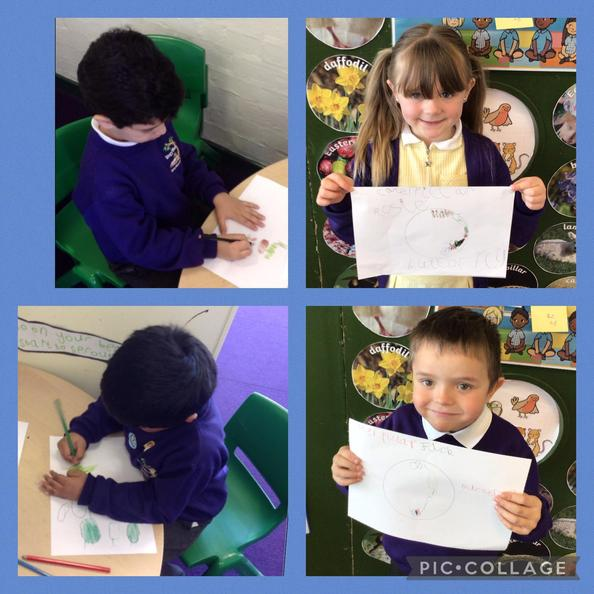 They also drew the life-cycle. They thought carefully about the correct order.